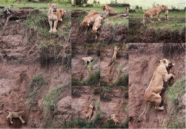 lioness save cub